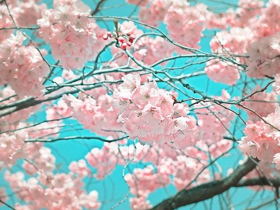 Sakura1 / © LEX 2013