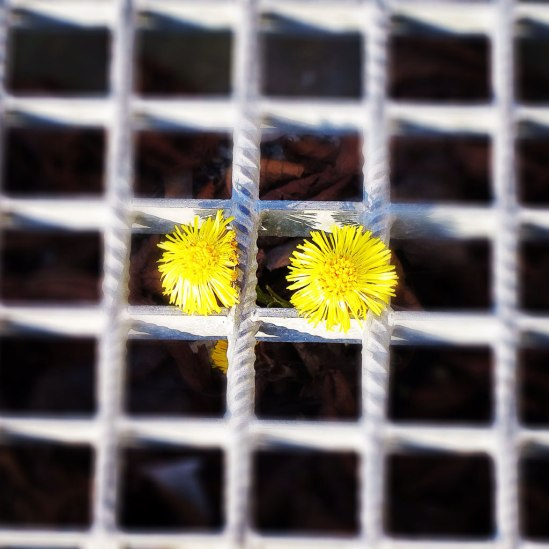 Maskrosuppväxt / © LEX 2014